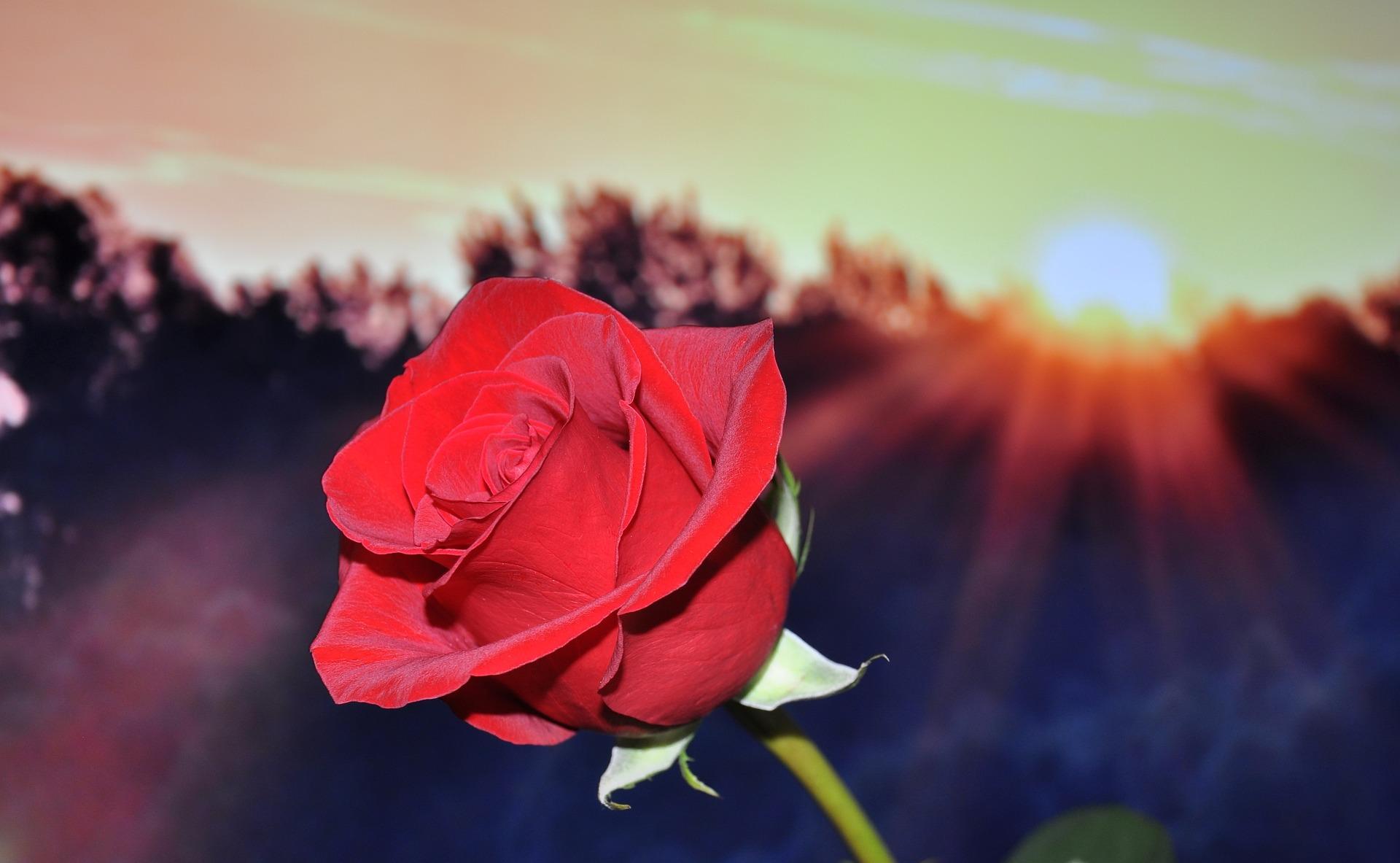 rose-670447_1920.jpg