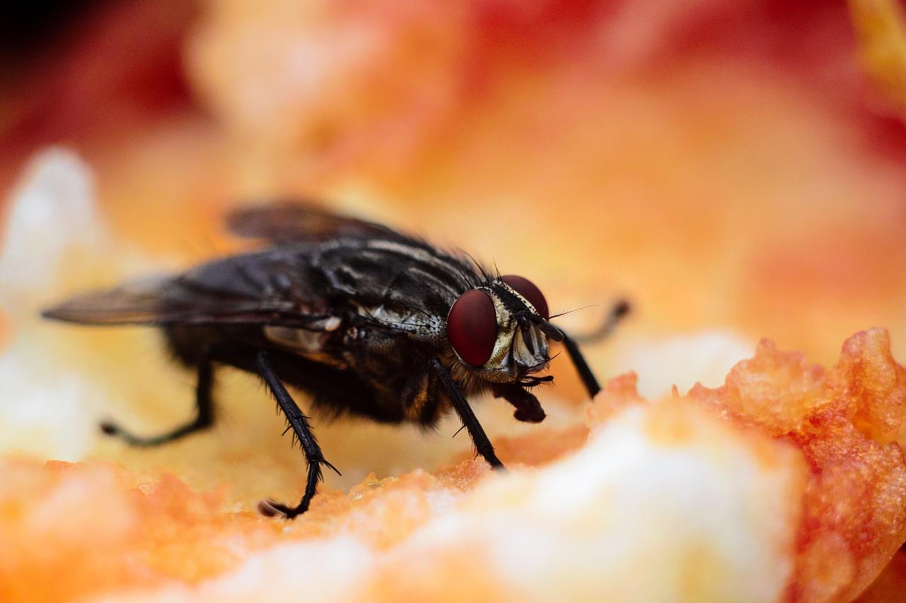 Low protein diet in early life increases lifespan in fruit flies.jpg