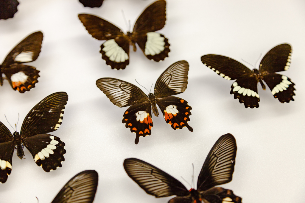 Several different swallowtail butterfly variations showing mimicry and polymorphism, or different forms of the same species. In the centre, a female Papilio polytes that mimic another species that is toxic to predators. (Credit: Matt Wood, UChicago)