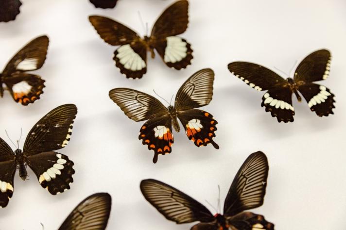swallowtails-4.jpg