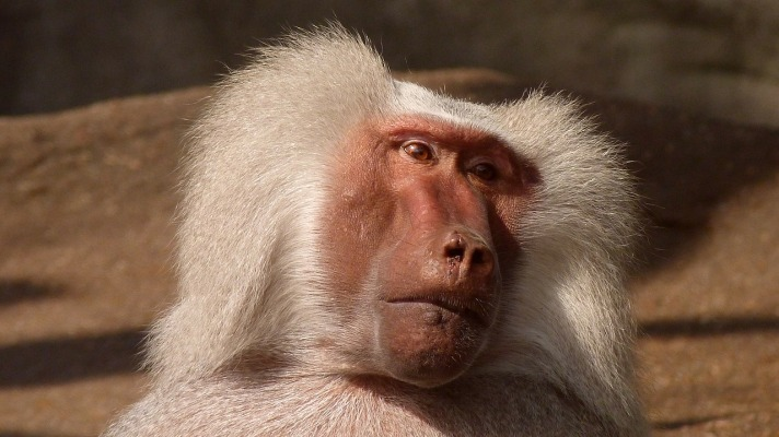 Tracking collars uncover the secrets of baboons' raiding tactics.jpg