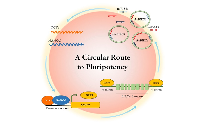 To maintain the pluripotency of embryonic stem cells, NANOG and OCT4 co-regulate the expression of circBIRC6 through the RNA splicing factor (ESRP1). circBIRC6 then reciprocally promotes the expression of NANOG and OCT4 by regulating microRNAs (miR-34a and miR-145). IMAGE CREDIT Academia Sinica